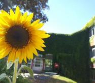 Wokusunflower